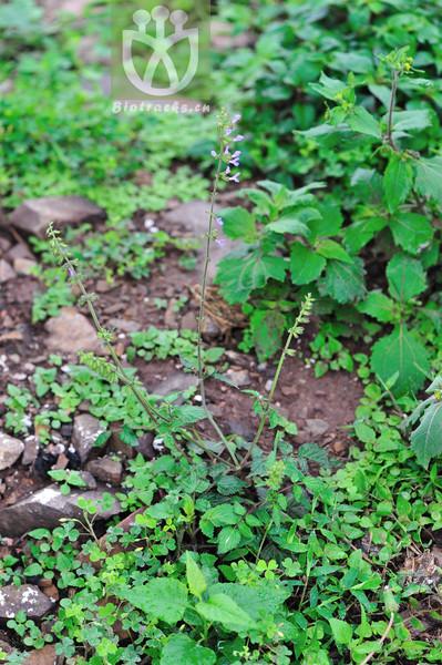 Salvia pinnata