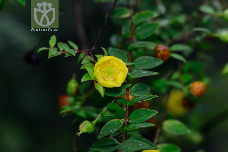 Hypericum henryi subsp. henryi