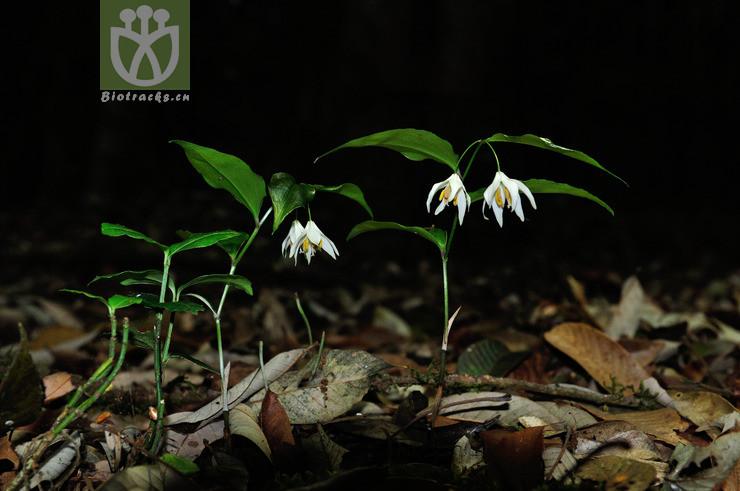 Disporum leucanthum