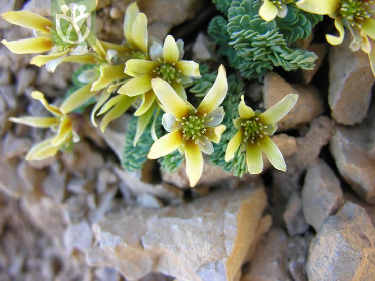 Callianthemum pimpinelloides