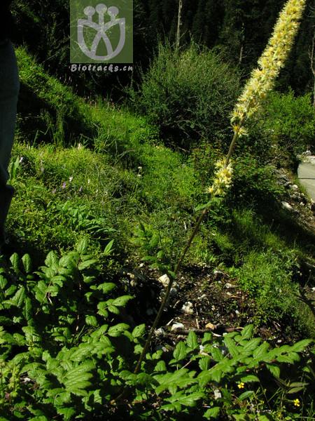 Actaea yunnanensis
