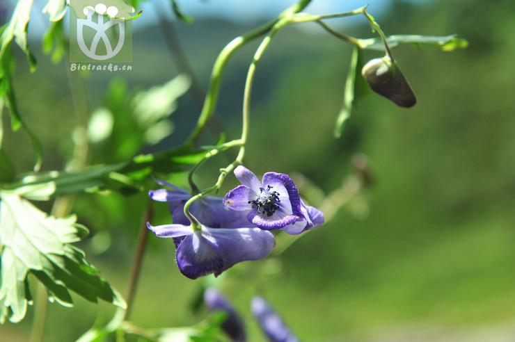 Aconitum crassicaule