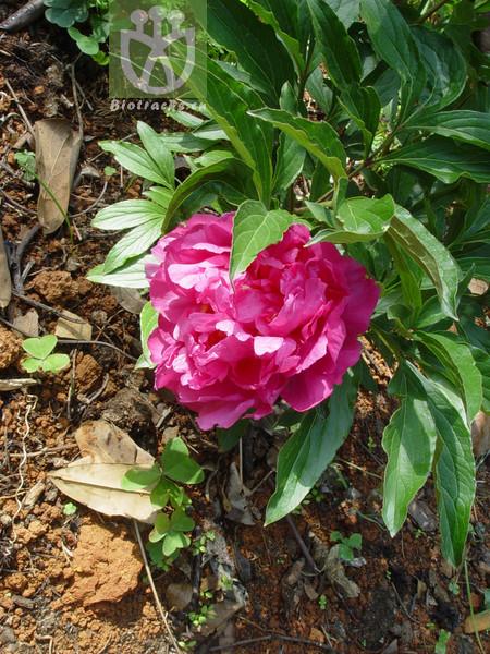 Paeonia lactiflora var. trichocarpa