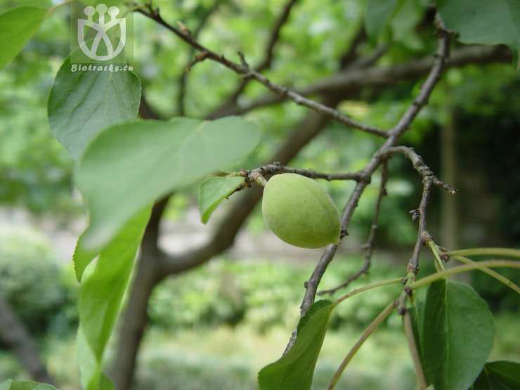 Armeniaca vulgaris
