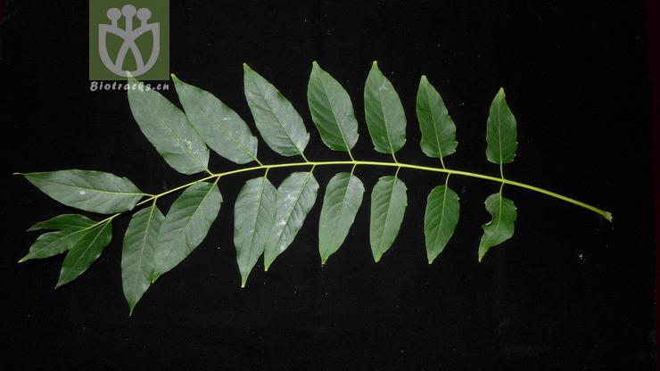 Ailanthus japonica