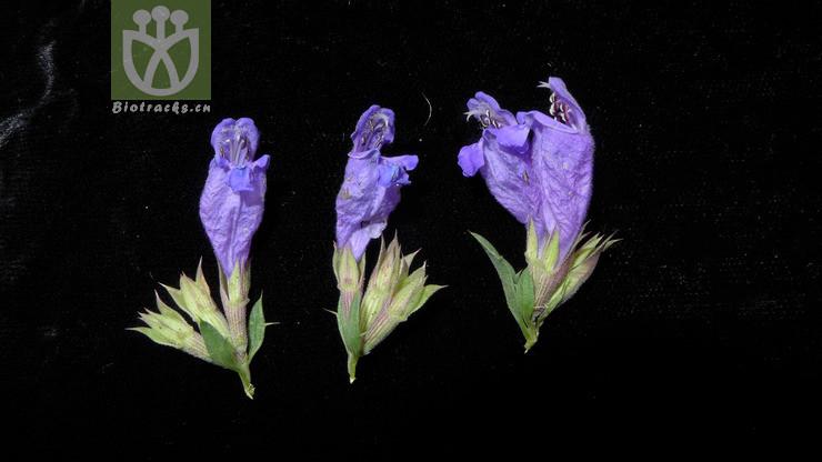 Dracocephalum peregrinum