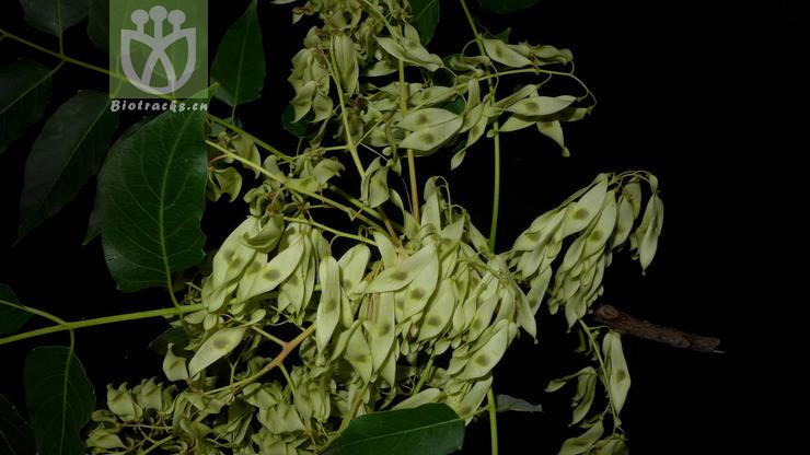 Ailanthus rhodoptera