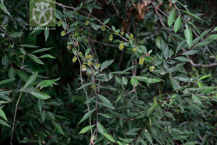 Salix cavaleriei