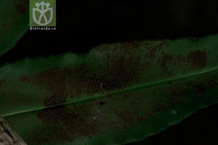 Coniogramme rosthornii