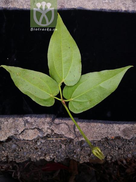 Ozotis trifoliata