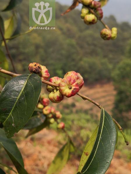 Phyllanthus daltonii