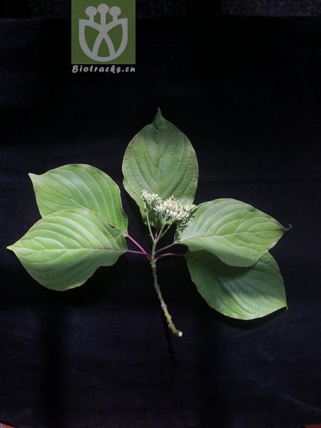Thelycrania macrophylla