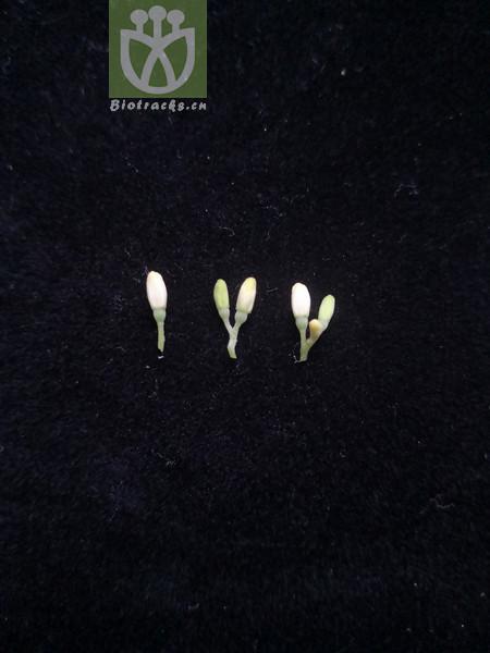 Cornus alpina