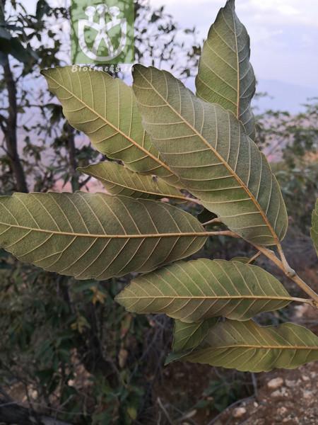 Quercus dispar