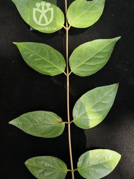 Caprifolium bournei