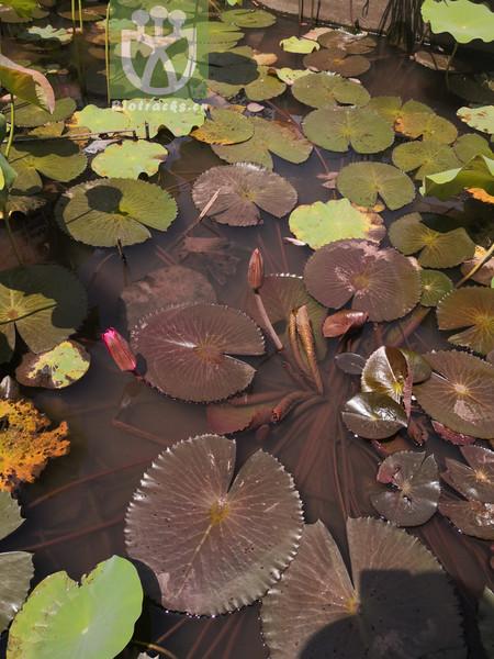Nymphaea pubescens