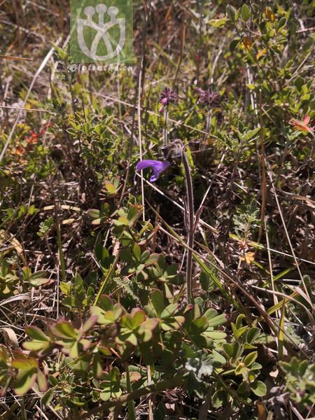 Salvia yunnanensis