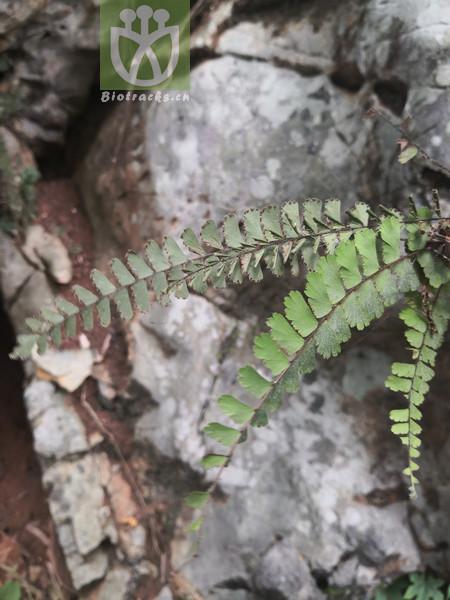 Adiantum malesianum