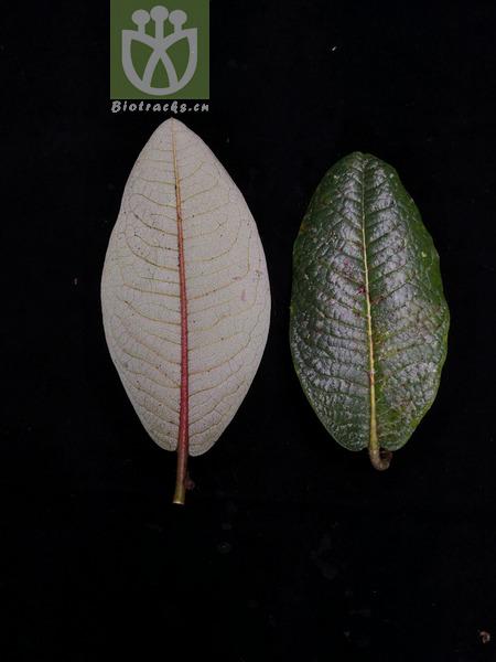 Myosotis lingulata