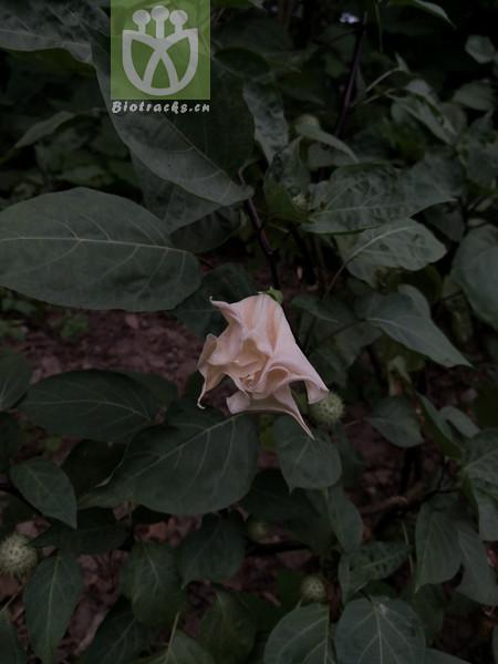 Samyda parviflora