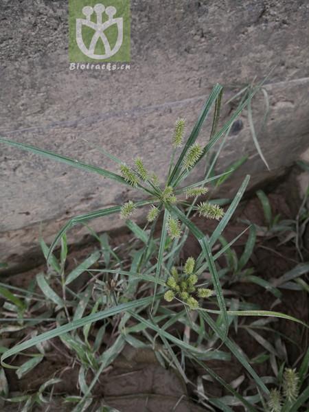 Mariscus sumatrensis
