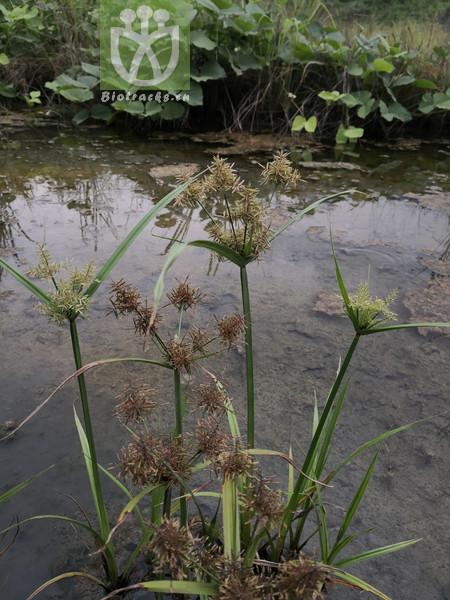 Juncellus serotinus