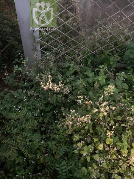 Eucalyptus bicostata