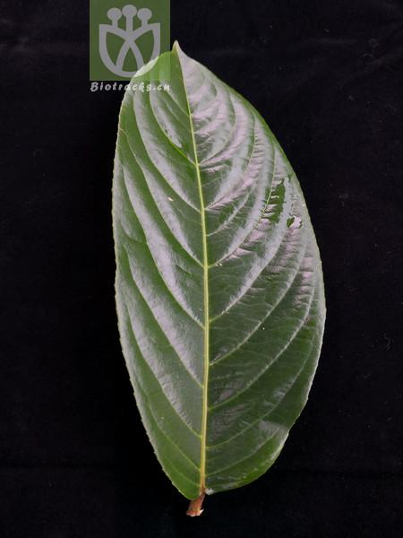 Casearia balansae var. cuneifolia