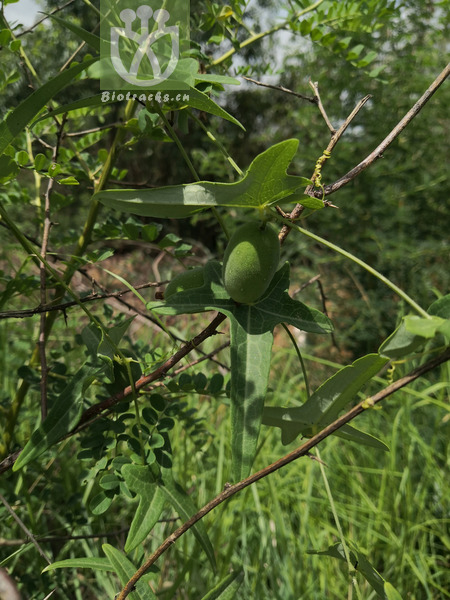 Solena amplexicaulis