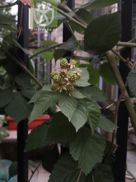 Rubus idaeus subsp. maritimus
