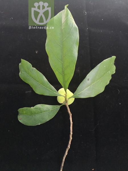 Actaea heracleifolia