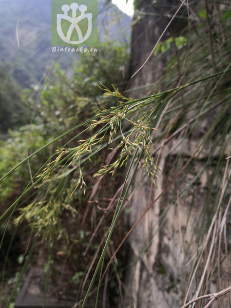 Eriophorum comosum