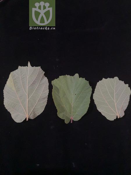 Helicteres isora