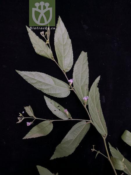 Helicteres elongata