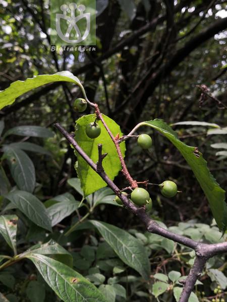 Gymnosporia neglecta