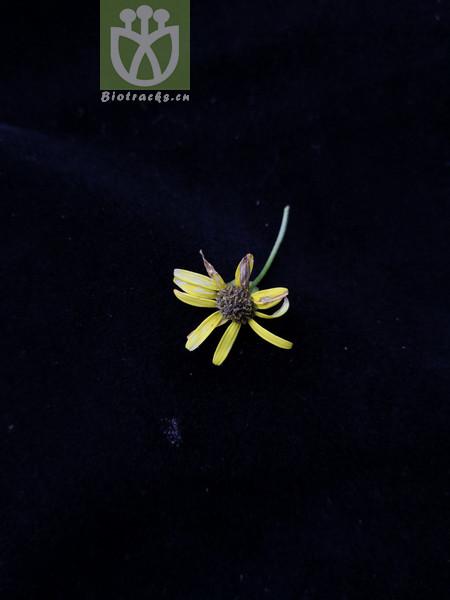Nemosenecio yunnanensis