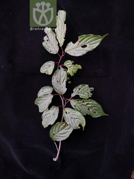 Stachyurus himalaicus var. microphyllus