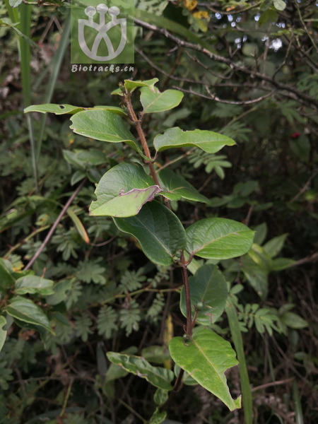 Lonicera acuminata var. acuminata