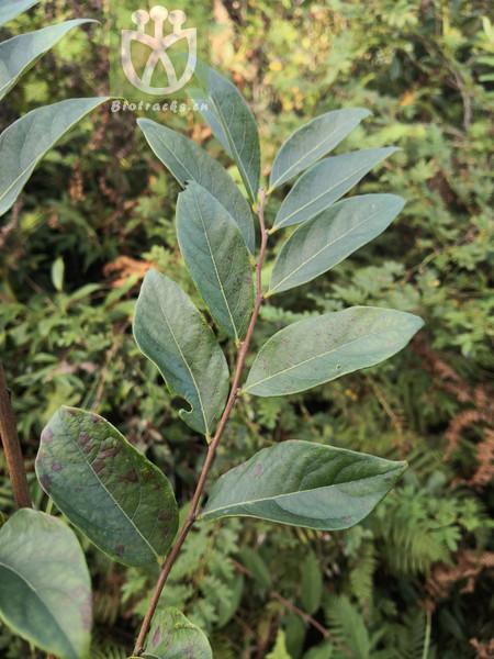 Glochidion heyneanum