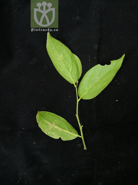 Pyrularia bullata