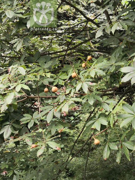 Aesculus chinensis var. wilsonii