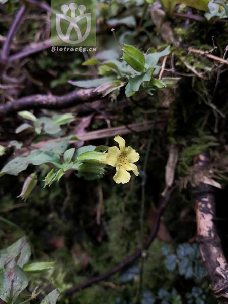 Laurocerasus marginata