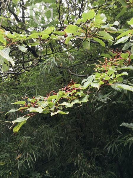 Swida controversa var. alpina