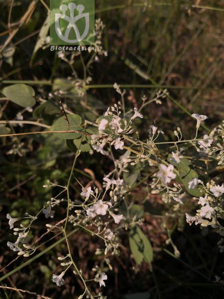 Acacia cowleana