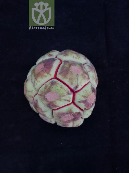 Kadsura ananosma