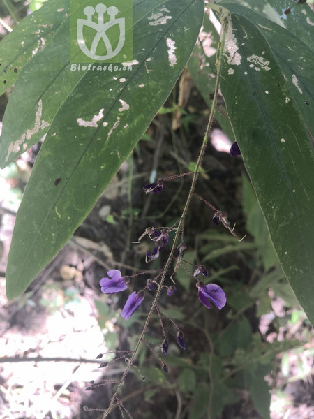 Hylodesmum podocarpum