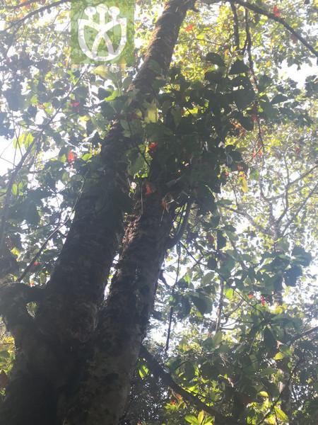 Elaeocarpus austroyunnanensis