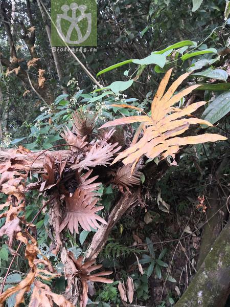 Drynaria propinqua