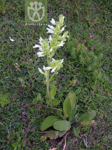 Salvia digitaloides var. digitaloides