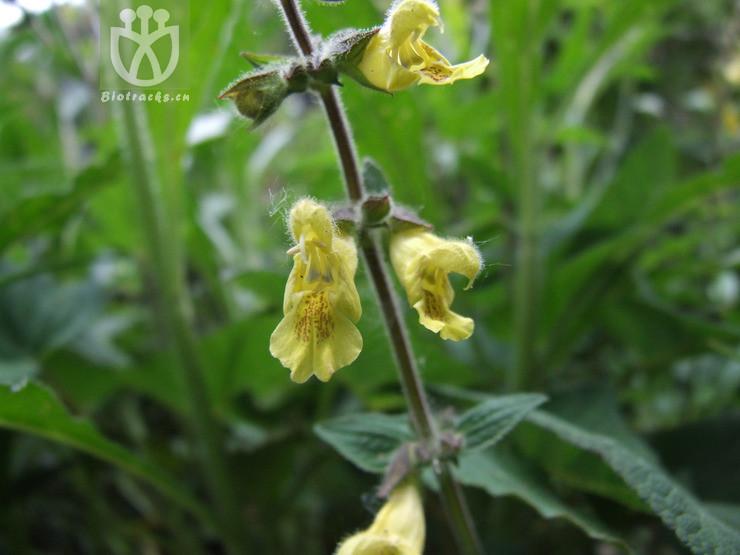 Salvia flava